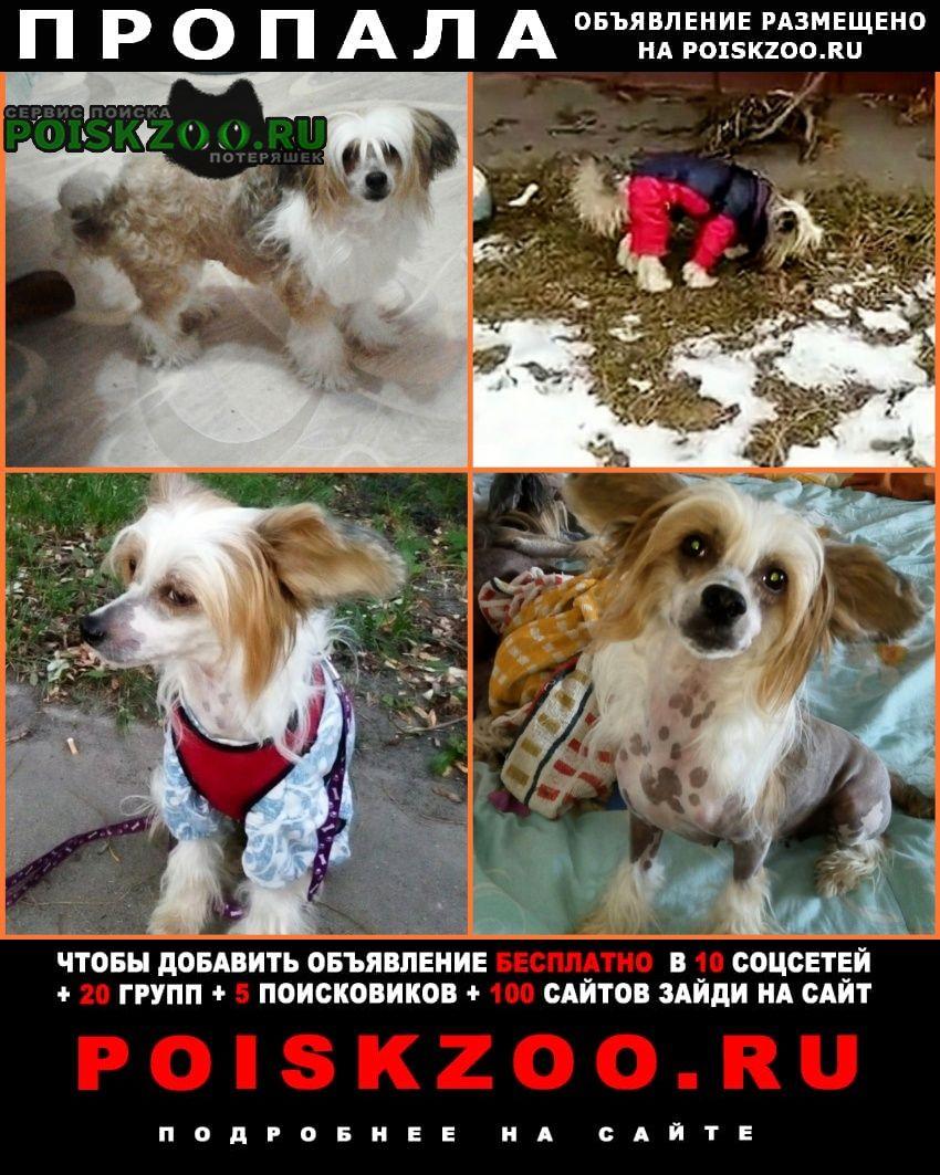 Иваново Пропала собака разыскивается китайская хохлатая