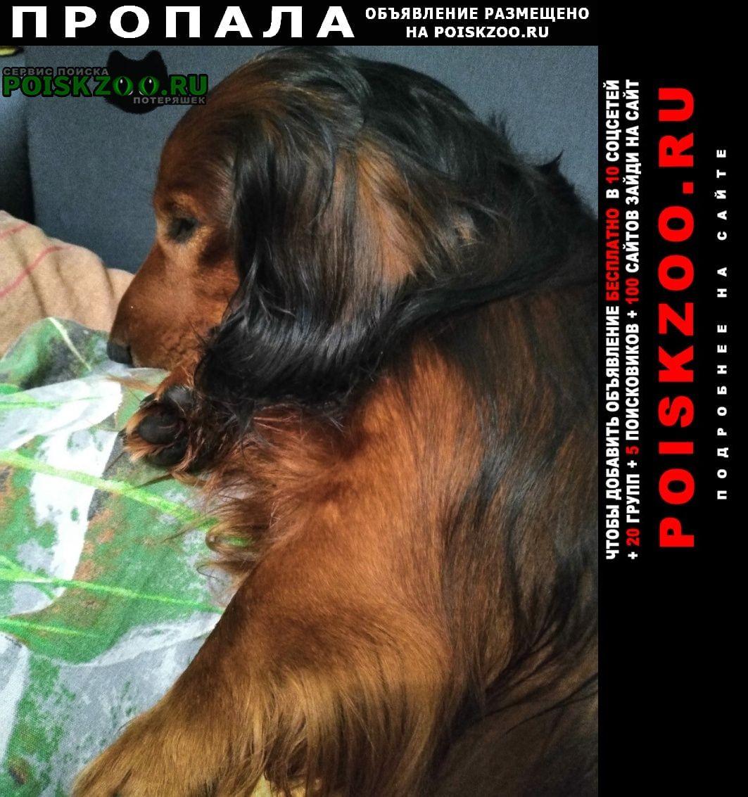 Пропала собака кобель такса длинношёрстная Иваново