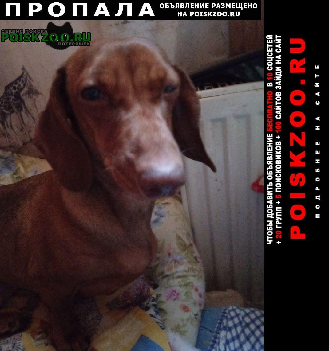 Пропала собака такса, 4 года рыжая Мытищи