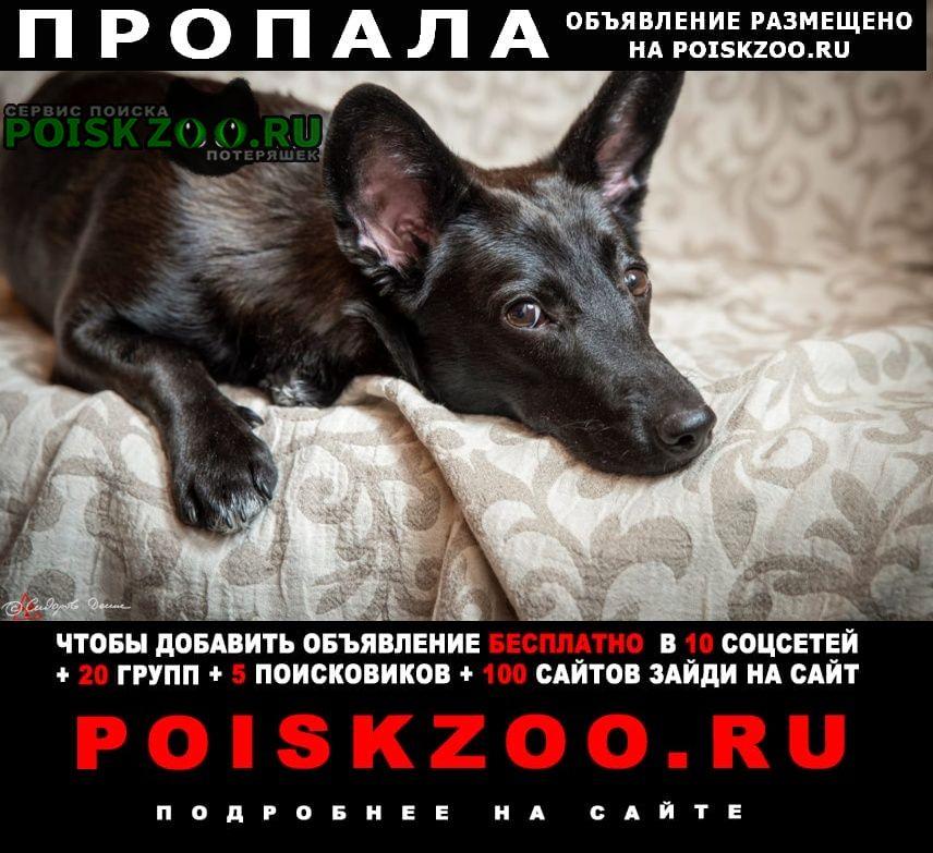 Пропала собака девочка, черная, очень ушастая Жуковский