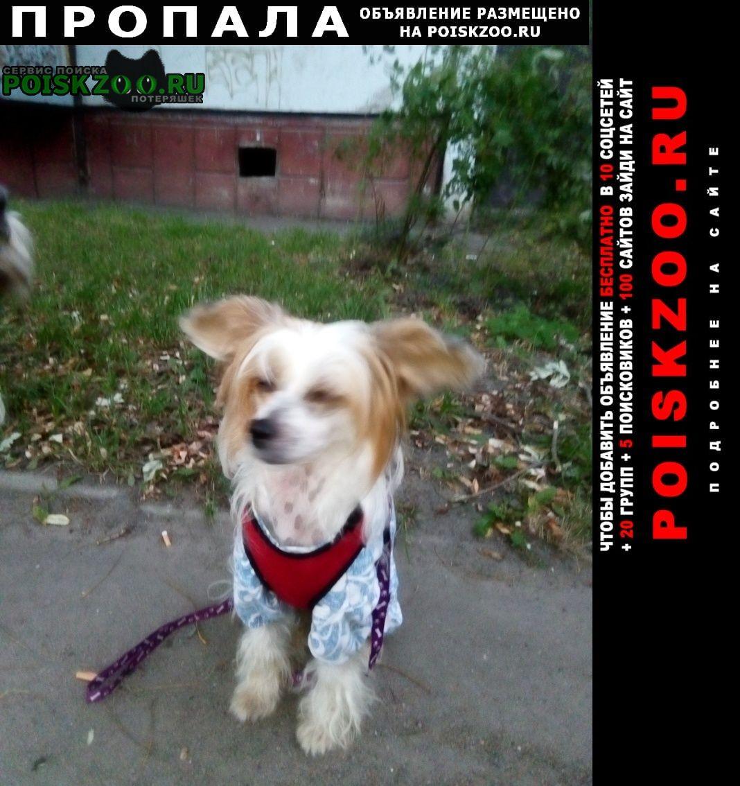 Пропала собака китайская хохлатая 3 года.сука.дарина Иваново