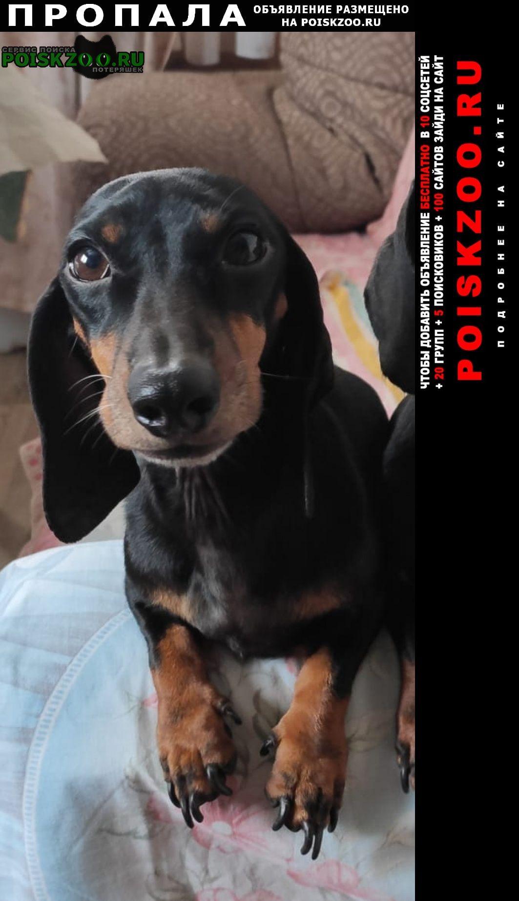 Пропала собака кобель такса Москва