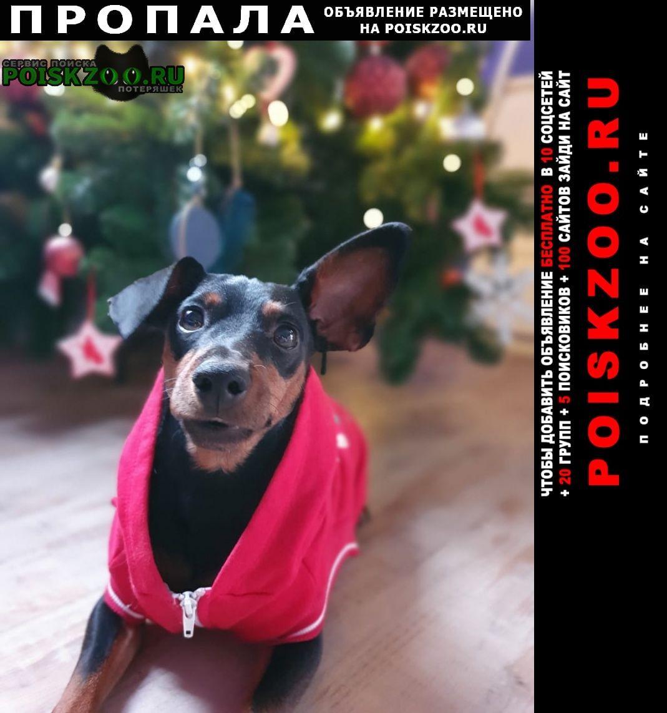 Пропала собака кобель порода цвергпинчер Волгоград