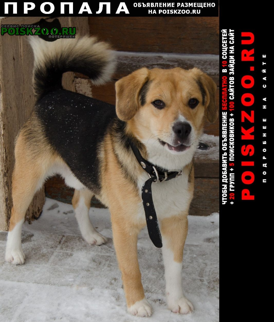 Пропала собака кобель любимая собака.бигль.кличка лаки Пенза
