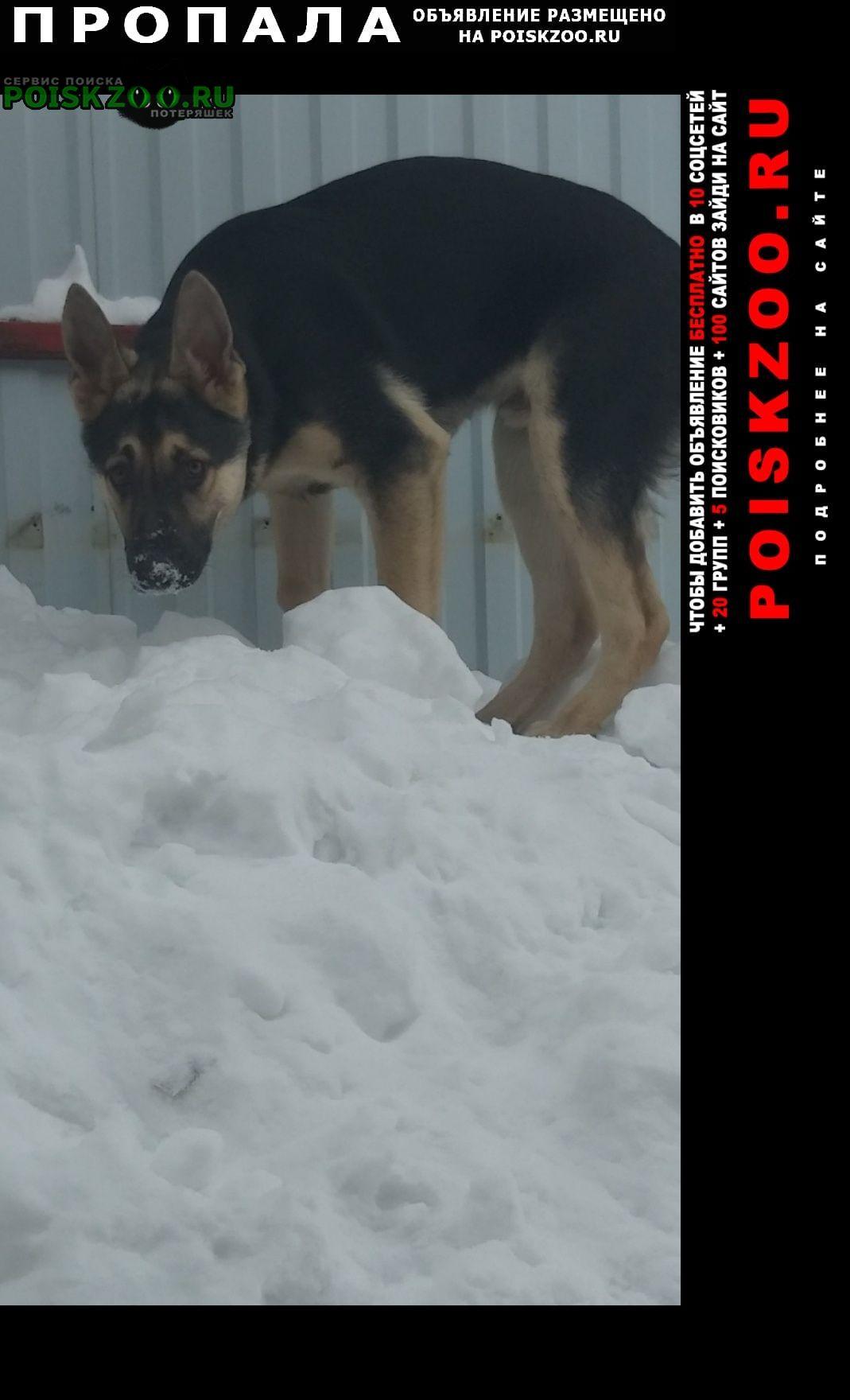 Иглино Пропала собака кобель немецкая овчарка, 7 месяцев, 15