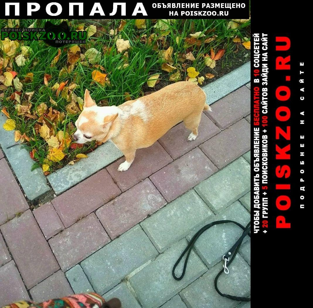 Пропала собака убежала на прогулке чихуахуа Павловский Посад