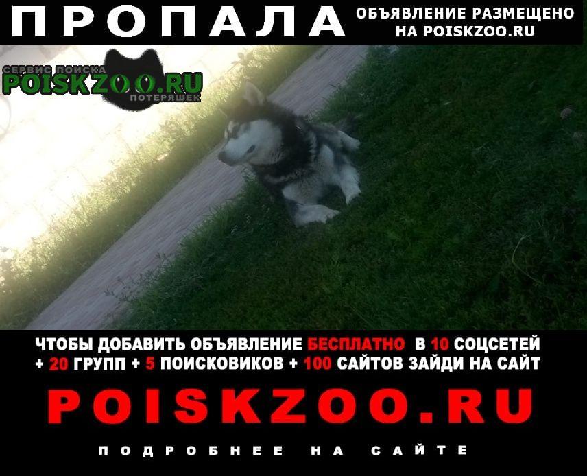 Пропала собака кобель хаски Воронеж