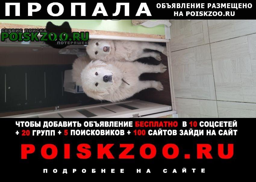 Большое Полпино Пропала собака кобель мареммо-абруццкая овчарка