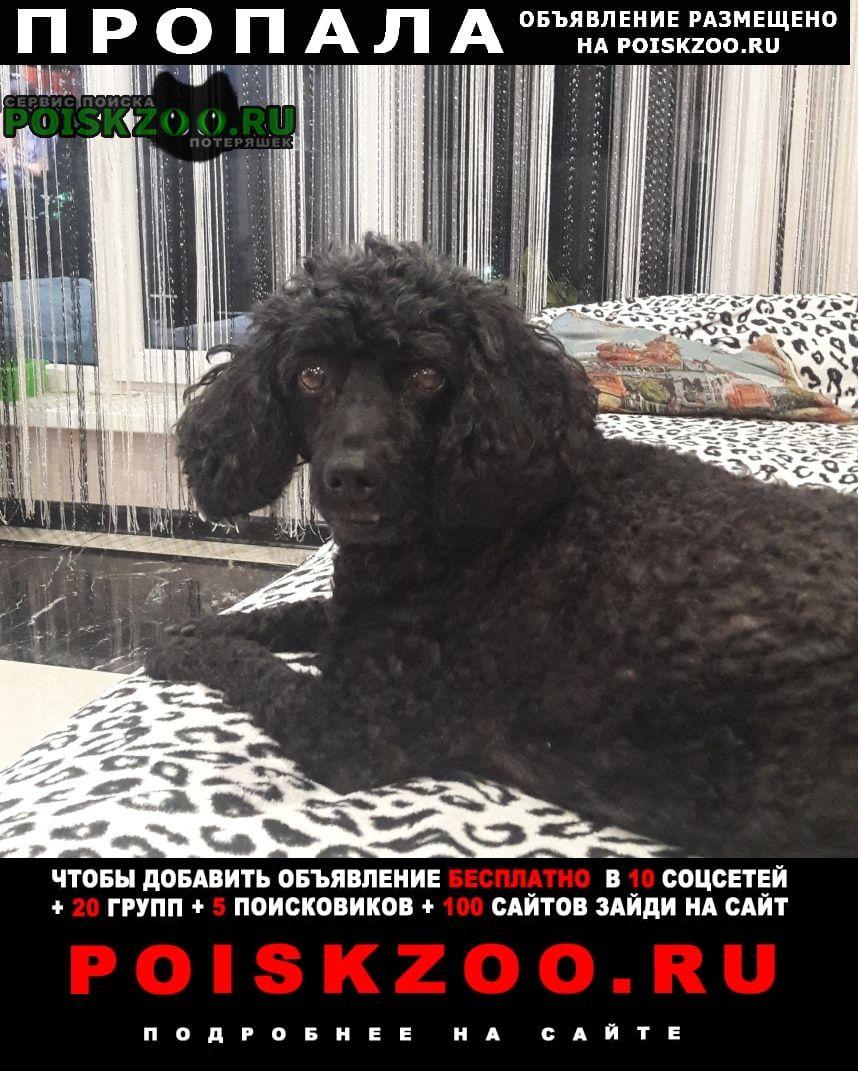 Пропала собака черный пудель сучка Мичуринск
