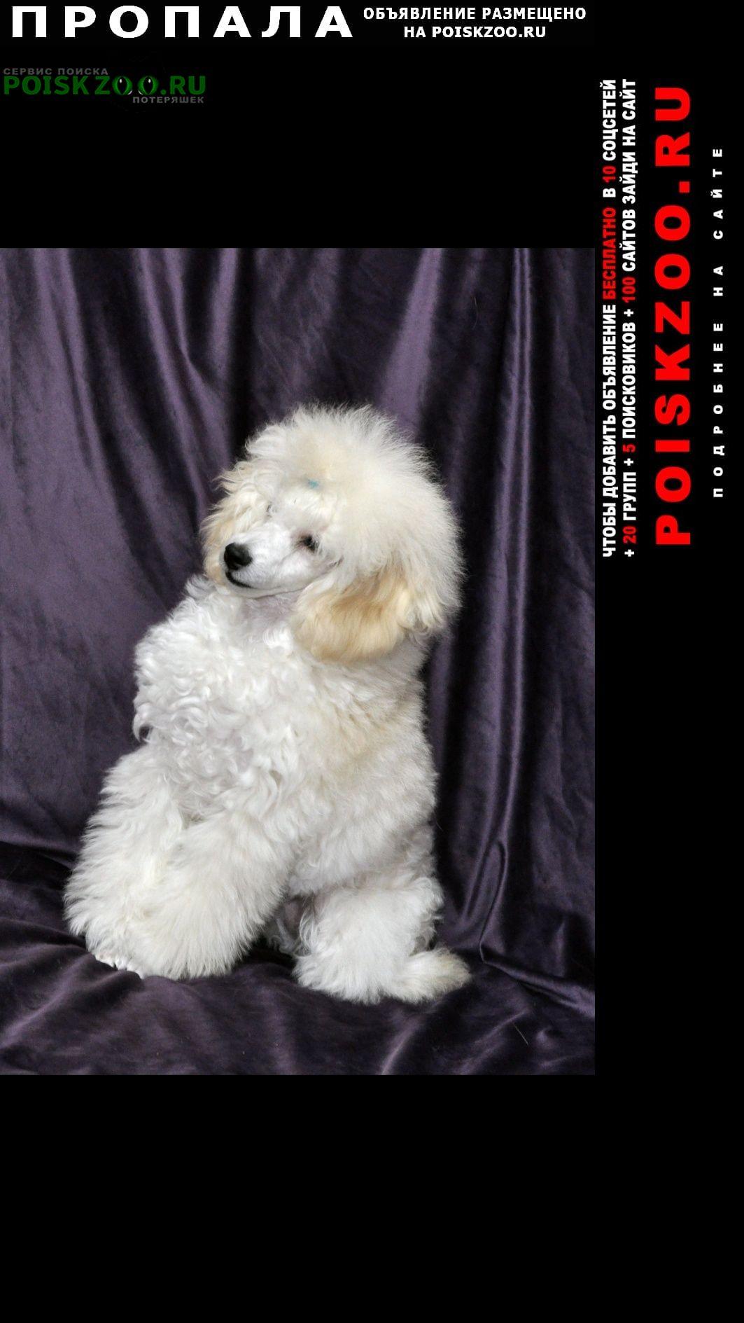 Владимир Пропала собака пудель белый девочка