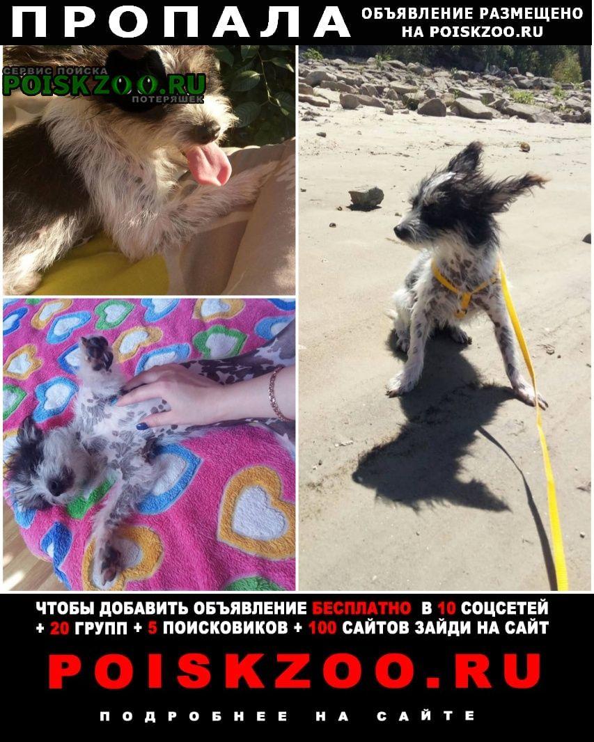 Калач-на-Дону Пропала собака мини китайская хохлатая