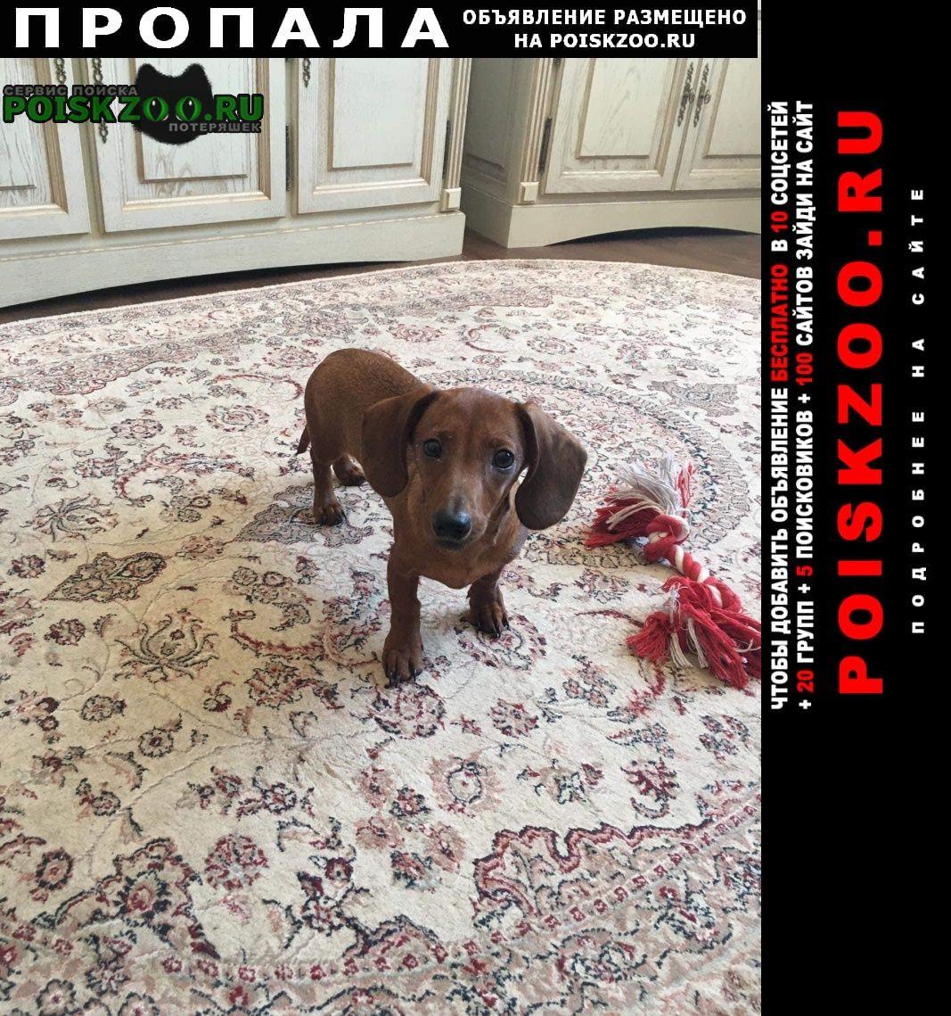 Пропала собака кобель щенок таксы рыжий мальчик Москва