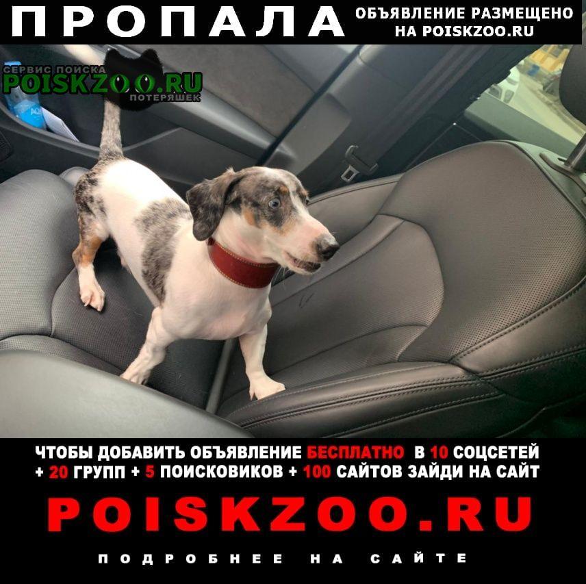 Найдена собака кобель такса с голубыми глазами Ростов-на-Дону