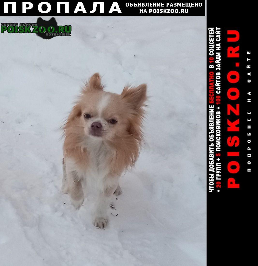 Томск Пропала собака кобель чихуаху рыжего цвета кабель кличка бутер