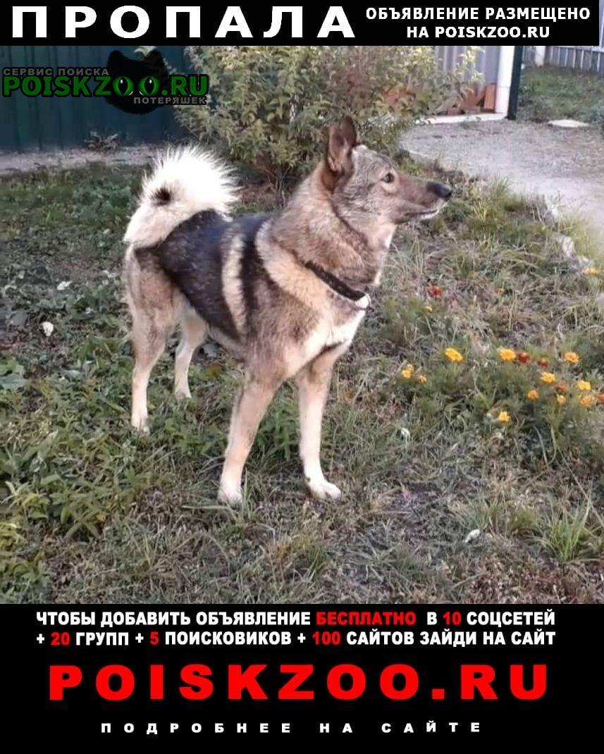 Пропала собака кобель западной сибирская лайка Пенза