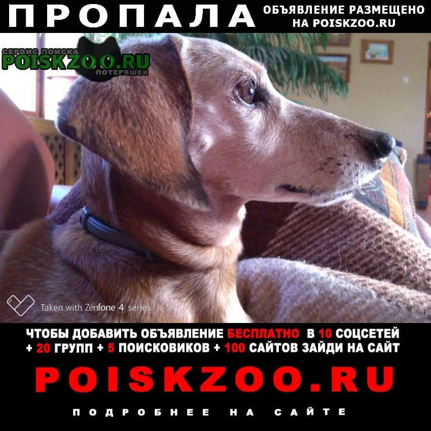 Пропала собака кобель такса мелкая с седой мордой Хотьково