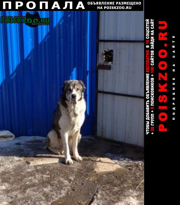 Домодедово Пропала собака кобель и 2 алабая