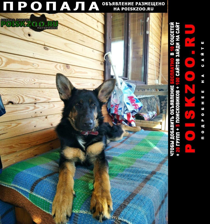 Пропала собака немецкая овчарка Кольчугино