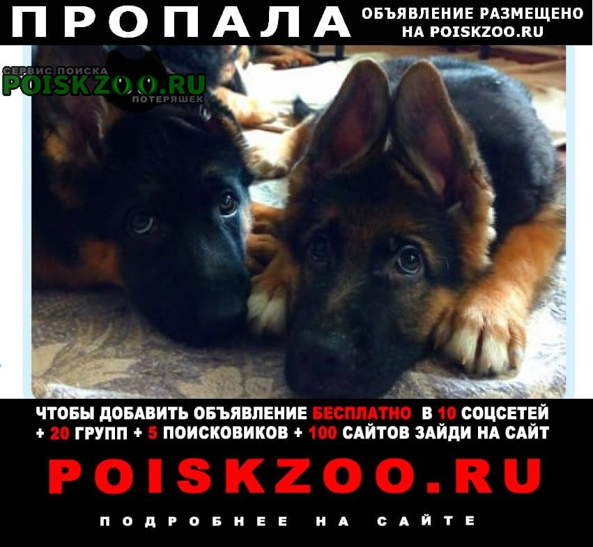 Пропала собака щенки немецкой овчарки Шуя