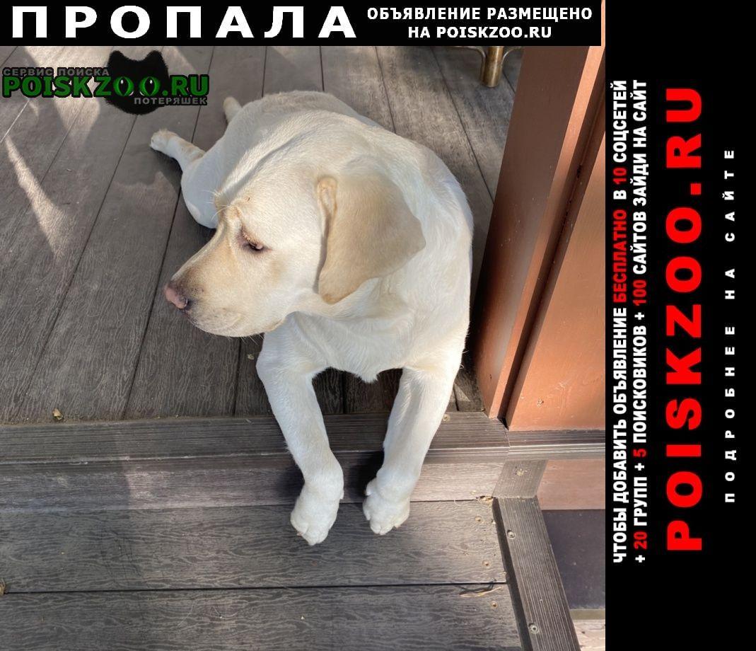 Пропала собака лабрадор бежевый девочка Мытищи