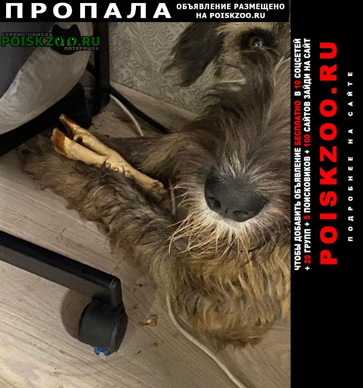 Пропала собака вознаграждение ирландский волкодав Москва