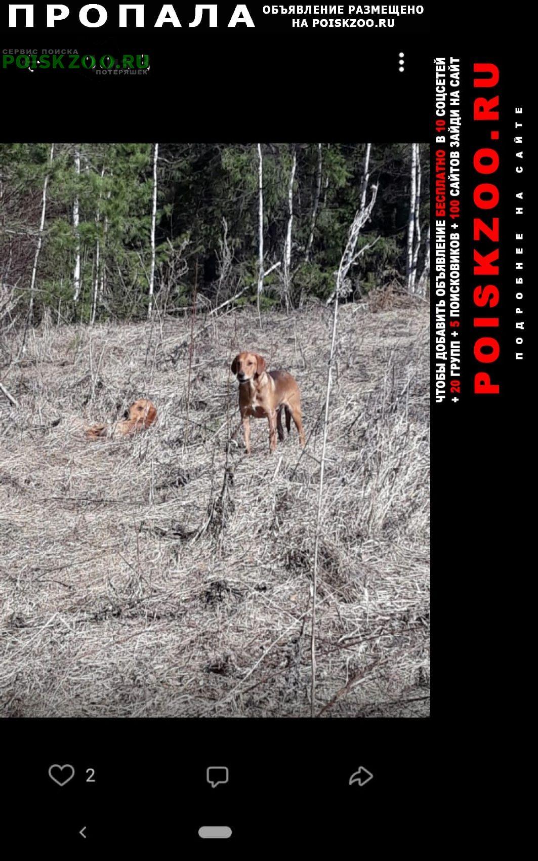 Пропала собака кобель выжлец русской пегой 1, 5 года. Йошкар-Ола