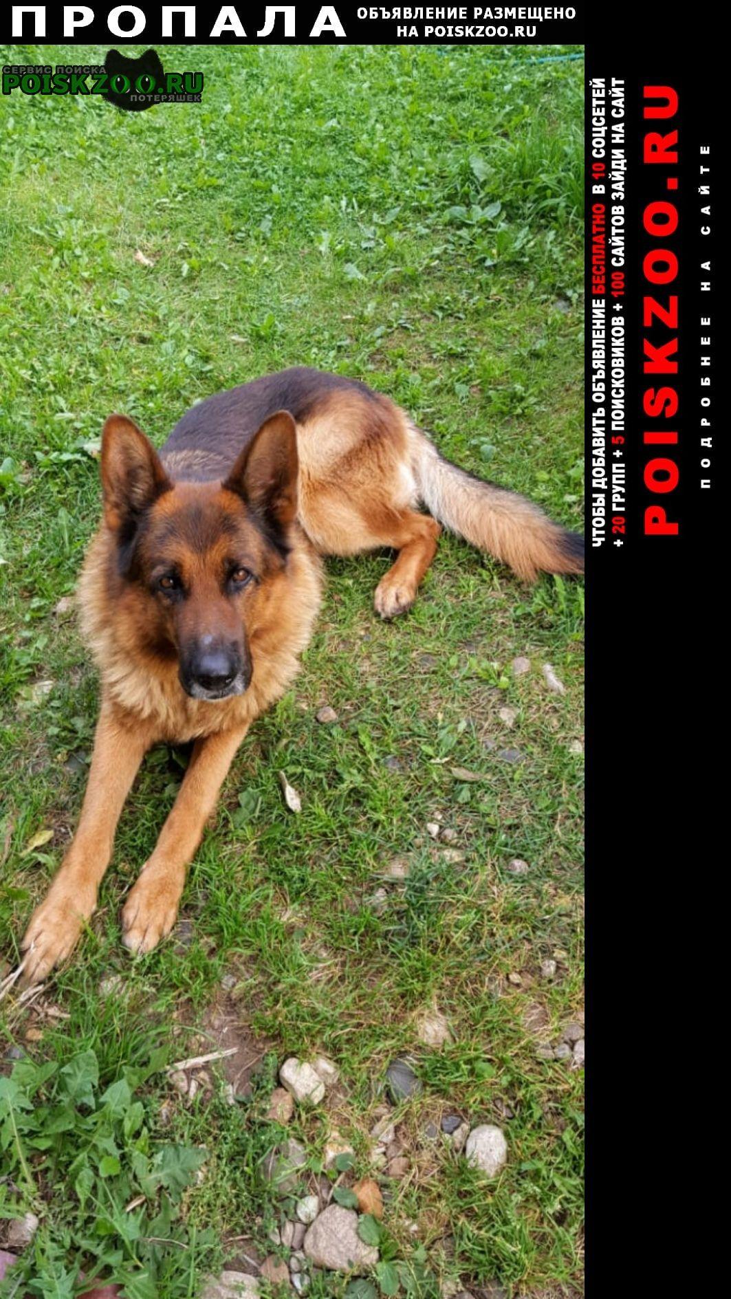 Пропала собака кобель немецкой овчарки, клеймо в ухе Мытищи