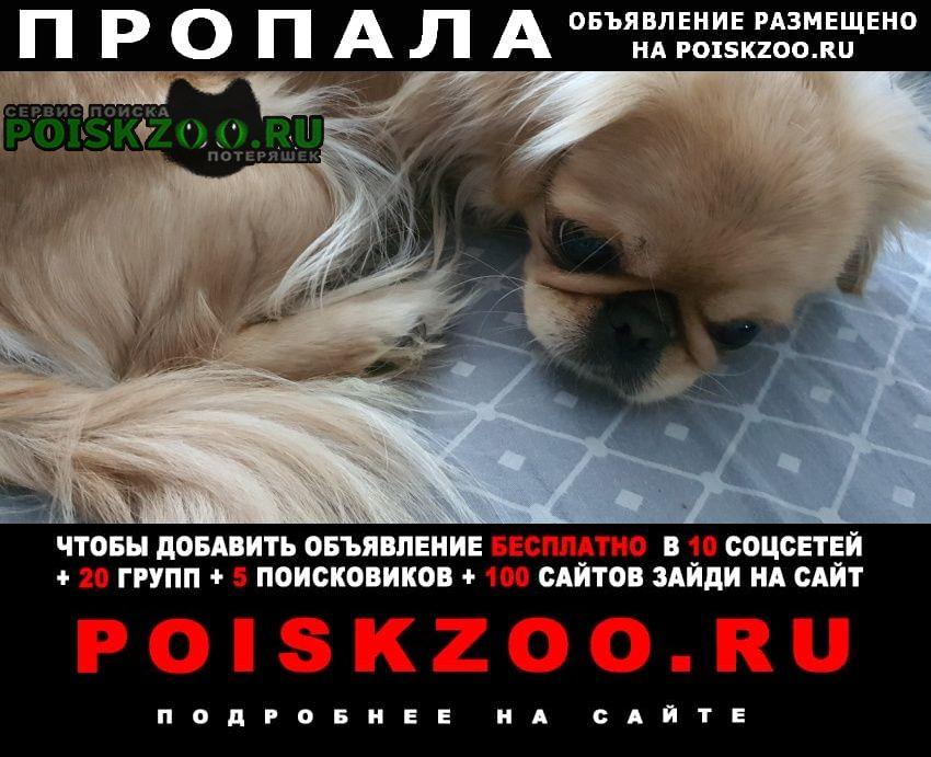 Пропала собака девочка пекинесик рыже-палевого окраса Санкт-Петербург