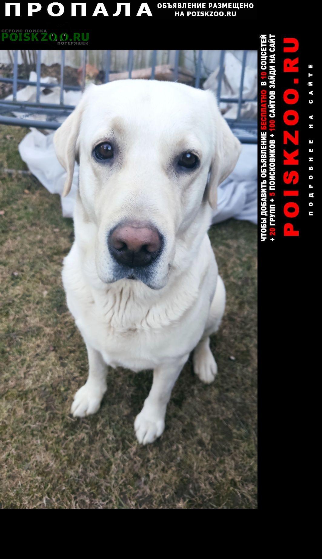 Пропала собака кобель белый лабрадор Солнечногорск