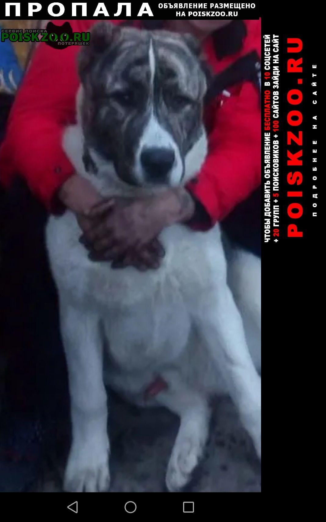 Новосибирск Пропала собака кобель алабай. кличка алан, 2 года