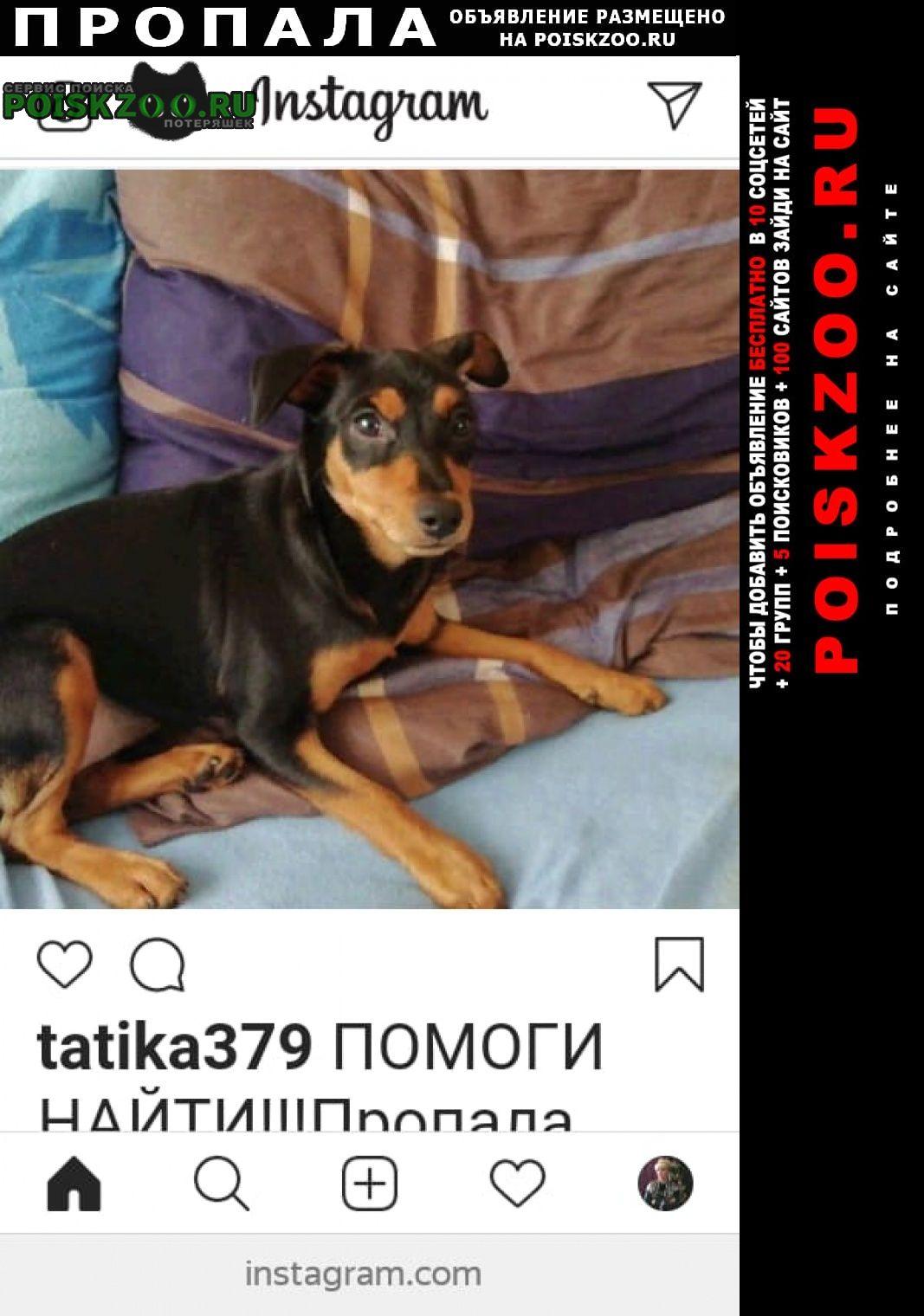 Новороссийск Пропала собака цвергпинчер