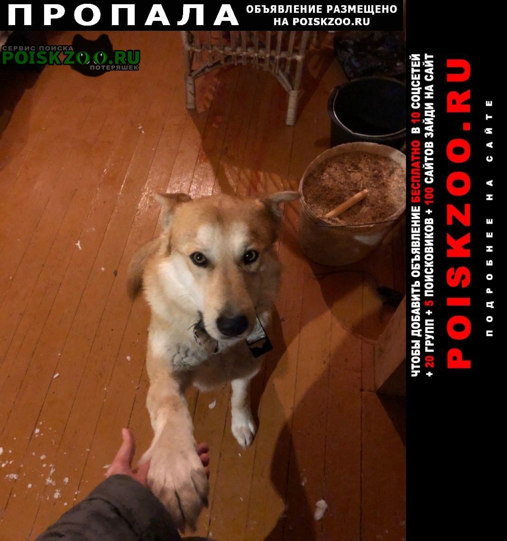 Пропала собака кобель беспородный рыже-белый Дмитров