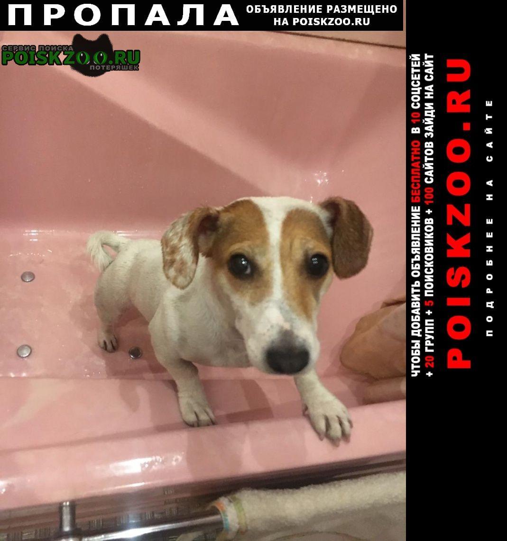 Пропала собака порода джек-рассел, зовут умка Шатурторф