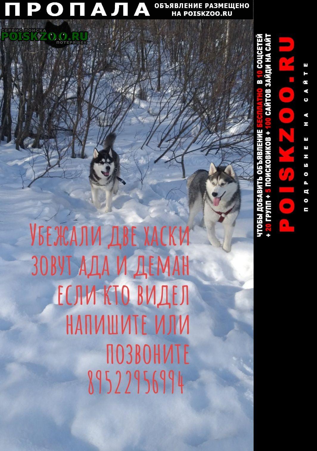 Пропала собака и 2 хаски Мурманск