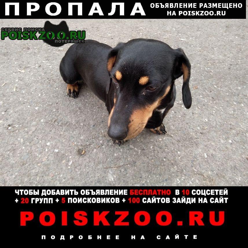 Пропала собака нашлась такса девочка. Новокузнецк