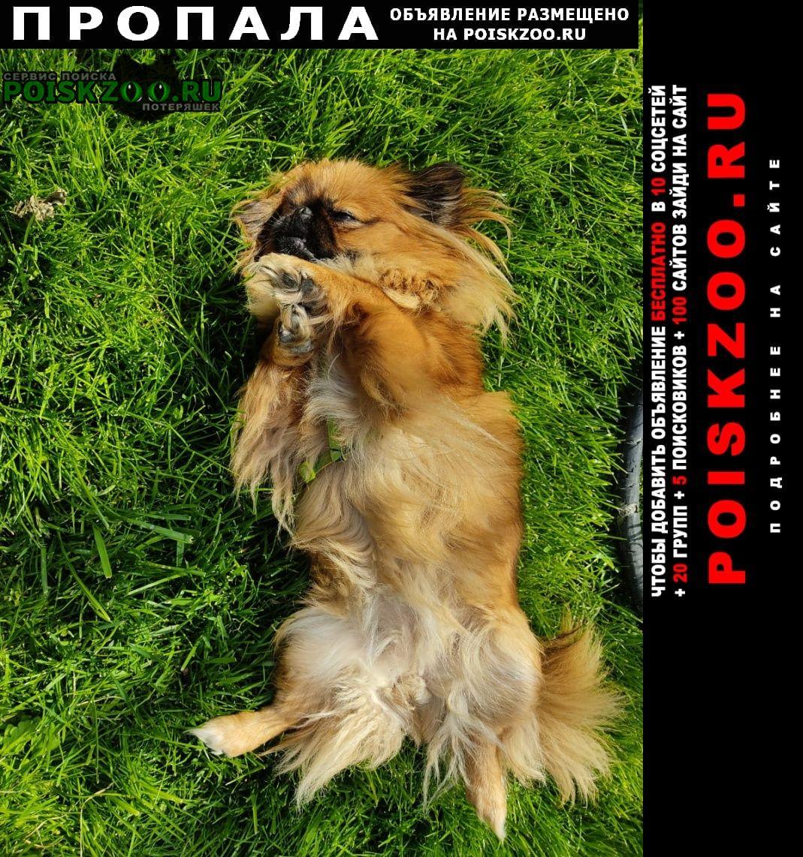 Пропала собака пекинес Анапа