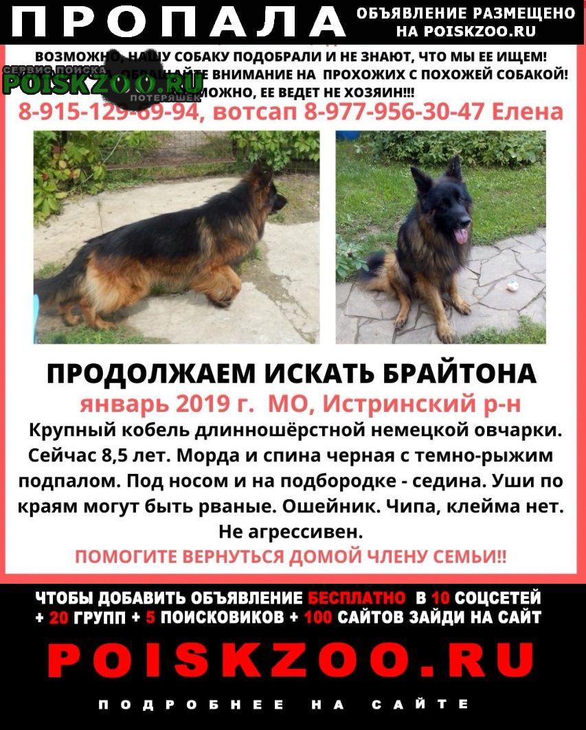 Пропала собака кобель немецкой овчарки в 2019 г. Истра