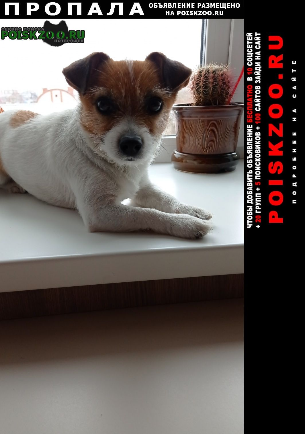 Пропала собака кобель джек рассел терьер Барнаул