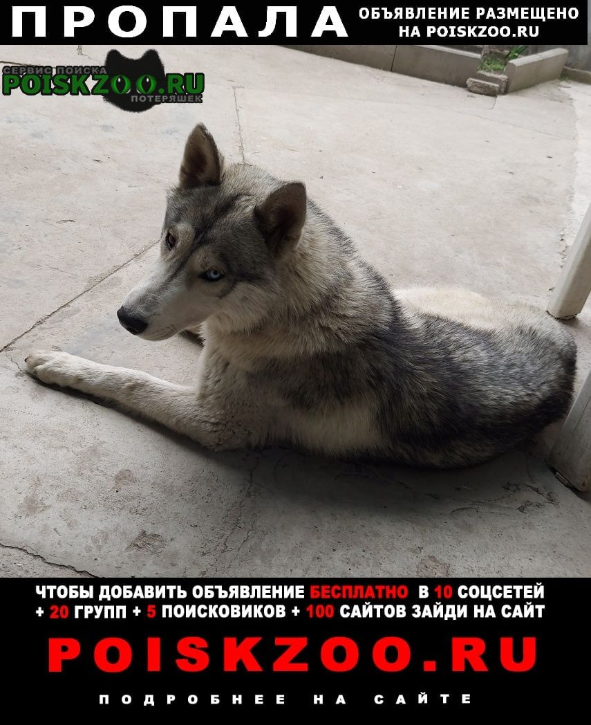 Пропала собака кобель хаски Пятигорск