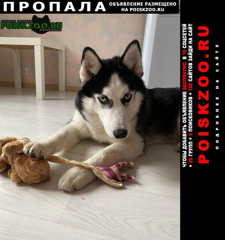 Пропала собака кобель хаски в ом районе Приозерск