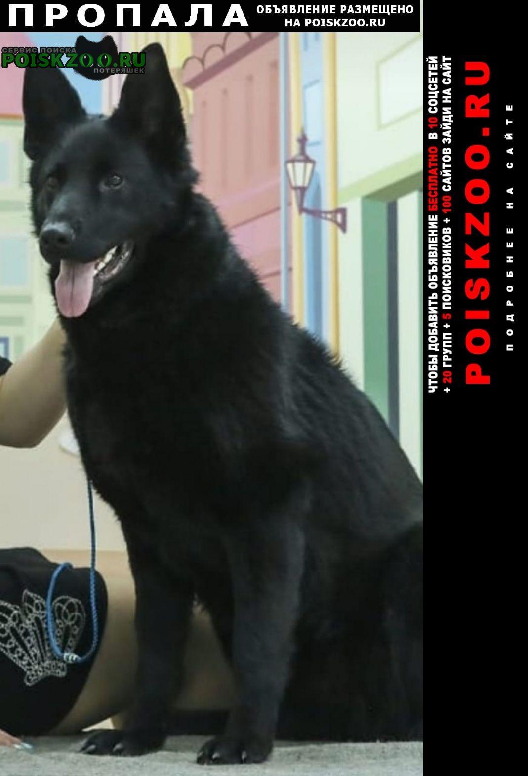 Пропала собака восточно-европейская овчарка. Пушкино