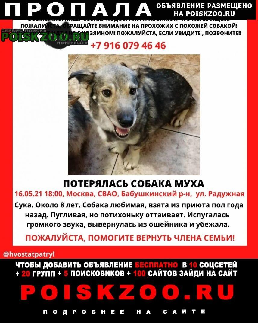 Пропала собака коротколапая Москва