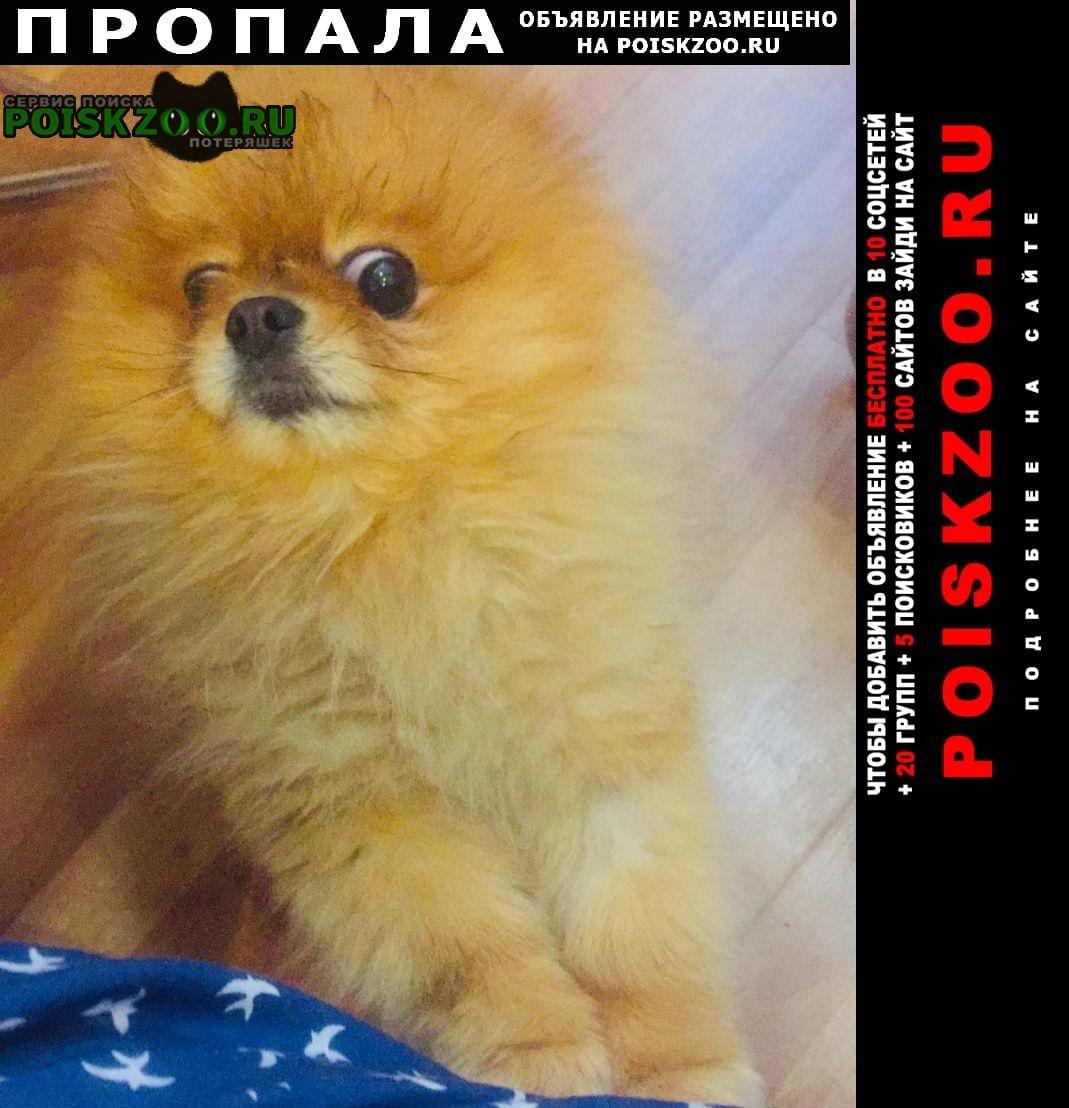Пропала собака кобель шпиц померанский Сургут