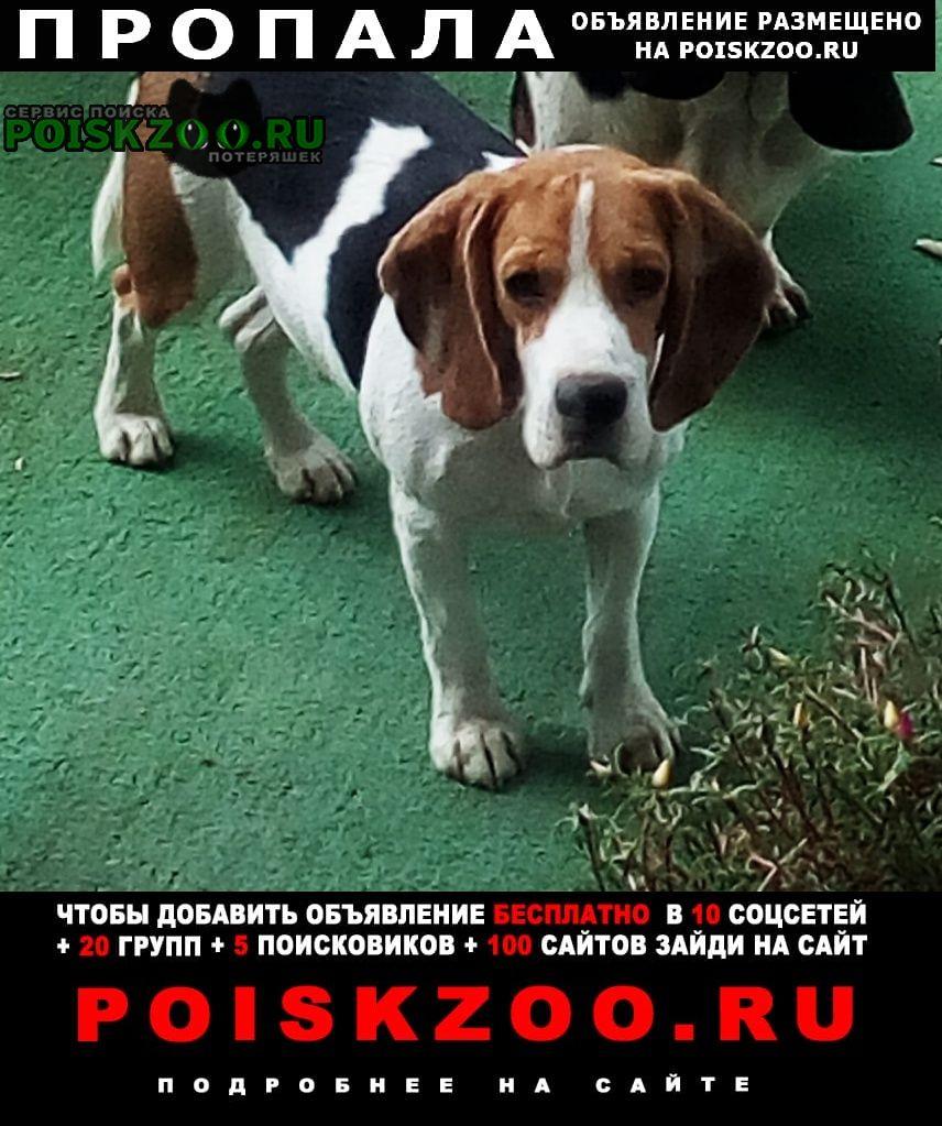 Пропала собака кобель пёс породы бигль Краснодар