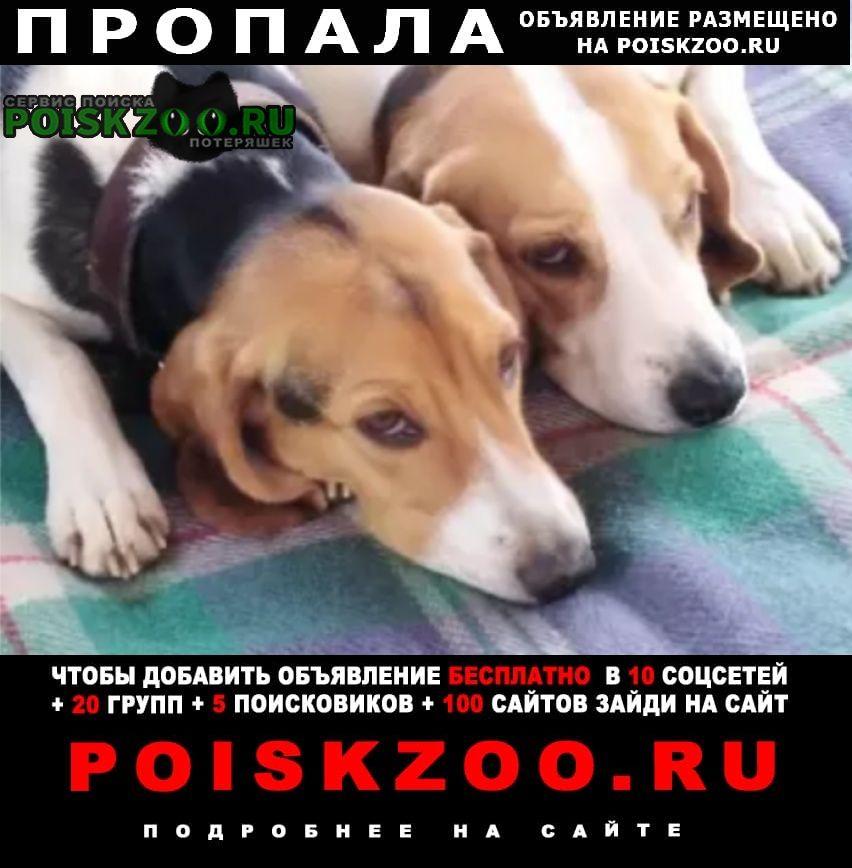Пропала собака 2 эстонские гончие Кольчугино
