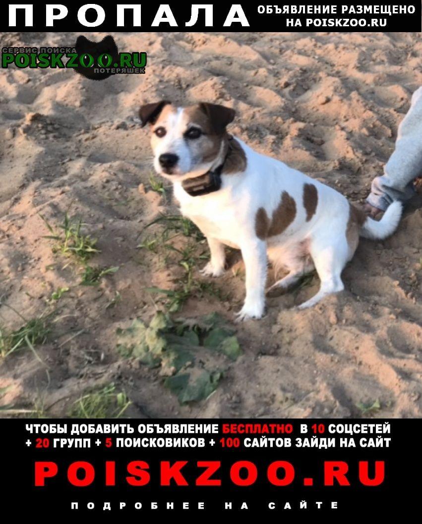 Пропала собака кобель джек рассел терьер Мытищи