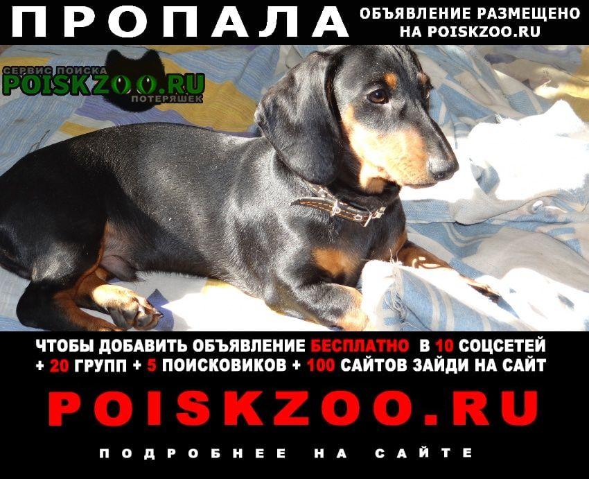 Пропала собака кобель такса Пенза