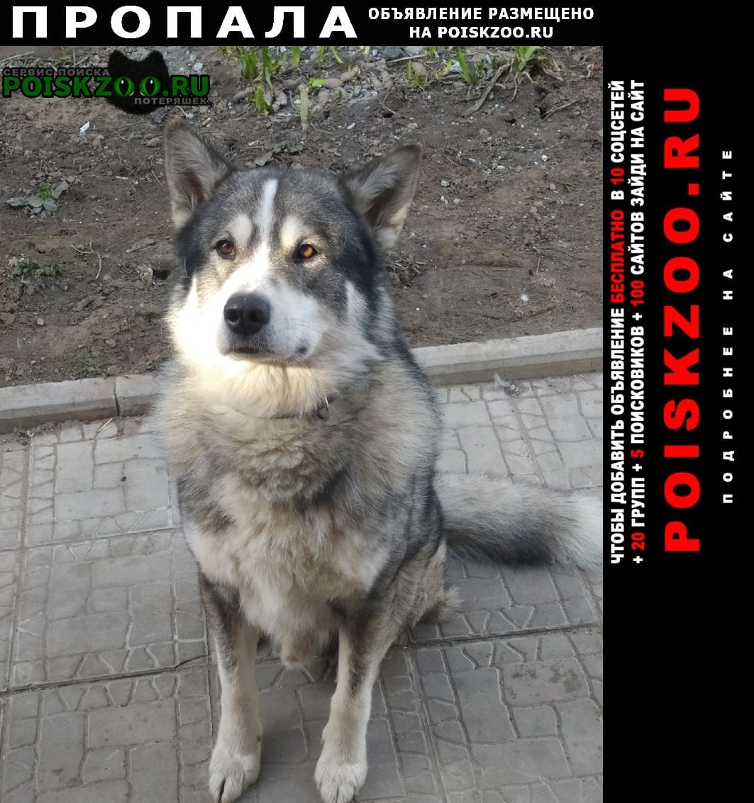 Пропала собака кобель аляскинский маламут Нижний Новгород
