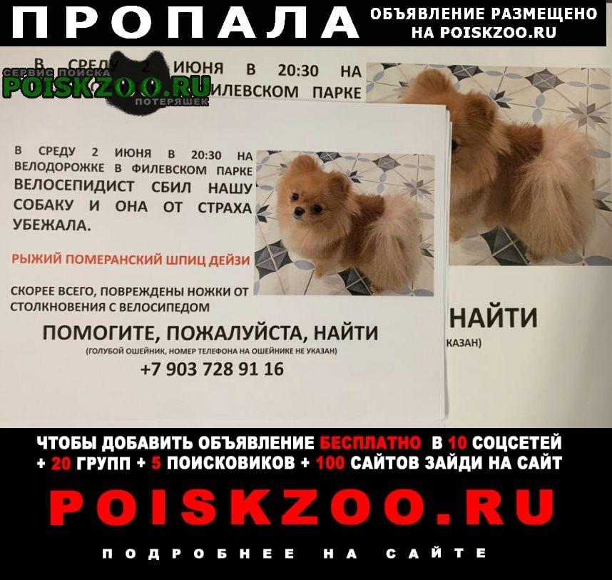 Пропала собака рыжий померанский шпиц Москва