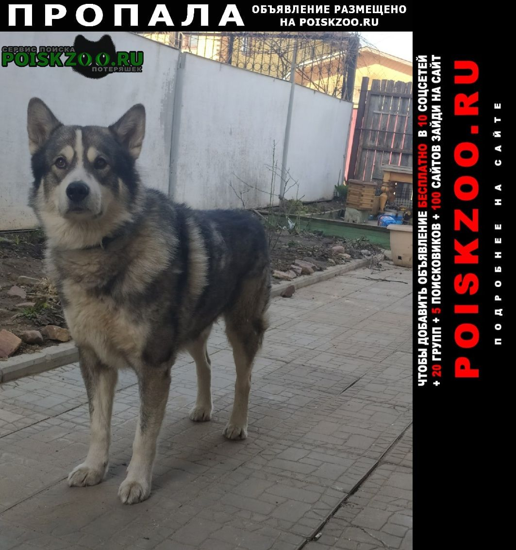 Пропала собака кобель маламут Нижний Новгород